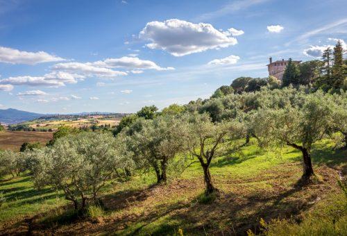 Olio, Centro Italia: grande l'impulso delle cultivar locali