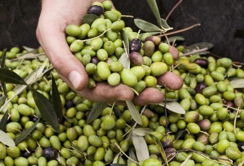 Olio, Nord Italia: numeri piccoli ma grande qualità e bello slancio verso un'agricoltura sostenibile.
