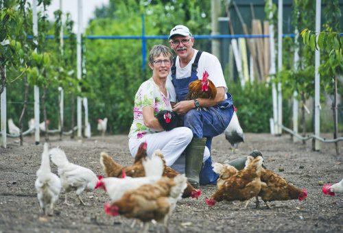 Quando l'allevamento rispetta l'ambiente e gli animali: il Presidio Slow Food del pollo di Chaam