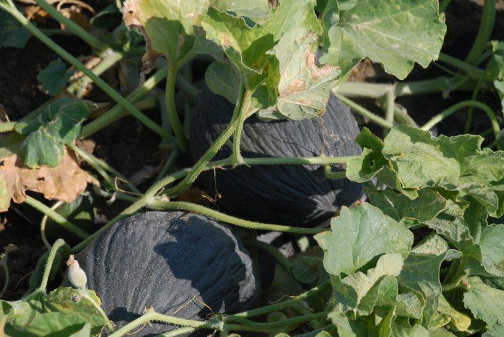 Melone purceddu d'Alcamo Presidio slow food