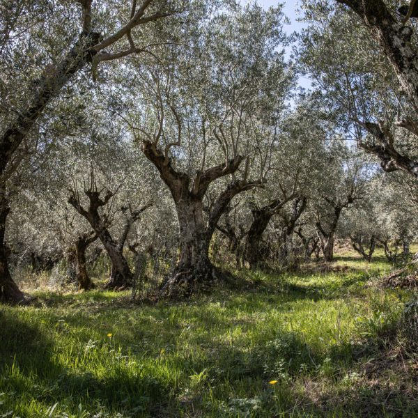 Olivo e Mediterraneo, storia di popoli e paesaggi.
