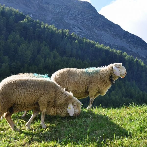 La Pecora della Val Senales, in Alto Adige, è un nuovo Presidio Slow Food