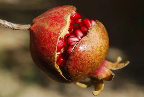 La melagrana (o melograno) risveglia il commercio dei frutti meno comuni