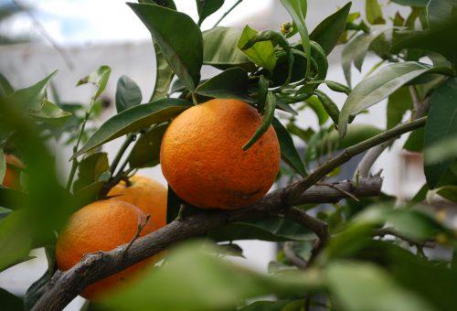 É il momento degli agrumi: clementine, arance e Presìdi Slow Food