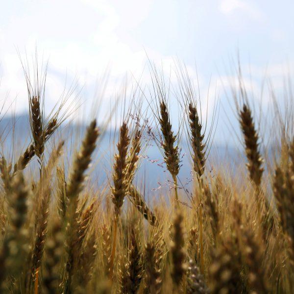 Ogm: società civile e i produttori ecologici preoccupati