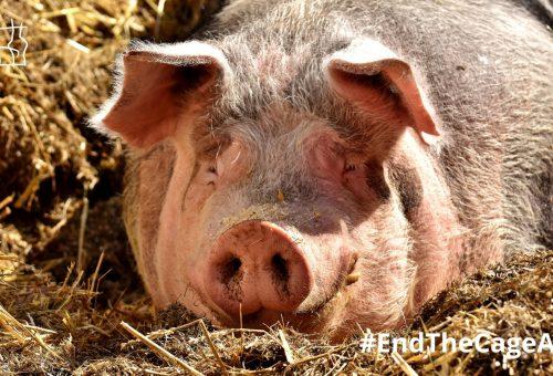 La Commissione europea annuncia la legge che vieterà le gabbie negli allevamenti